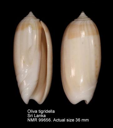 Oliva tigridella