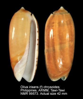 Oliva irisans