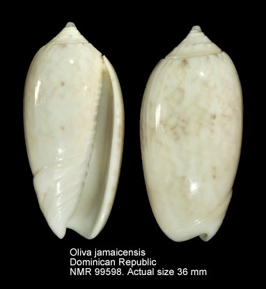 Oliva jamaicensis