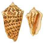 Strombus coniformis as represented by Sowerby, 1842, pl. VII, fig. 55, 61