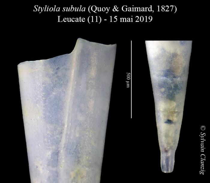 Styliola subula