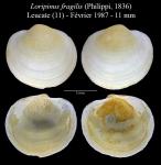 Loripinus fragilis (Philippi, 1836)