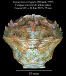 Liocarcinus corrugatus