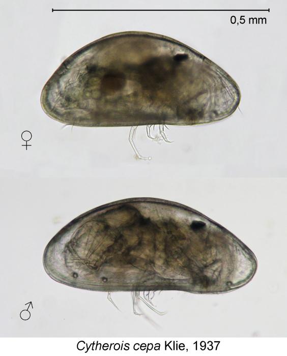 Cytherois cepa Klie, 1937