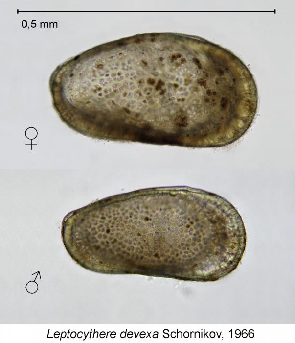 Leptocythere devexa Schornikov, 1966