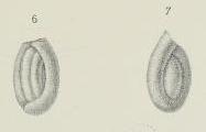 Trochammina robertsoni Brady, 1876