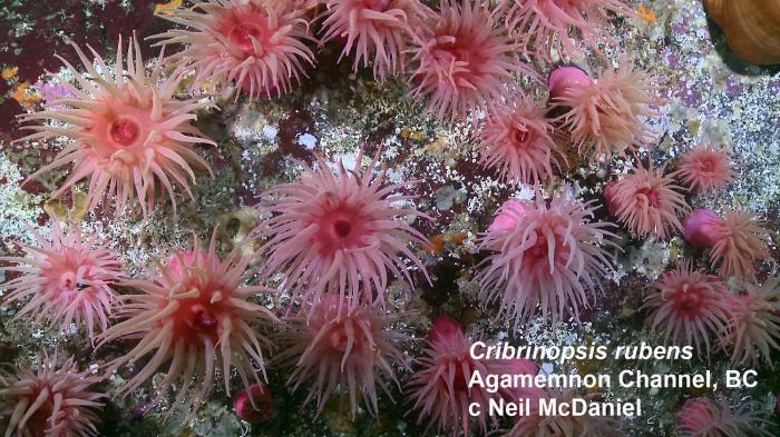 Cribrinopsis rubens