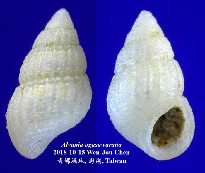 Alvania ogasawarana