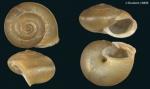 Metafruticicola (Rothifruticicola) nicosiana viglensis