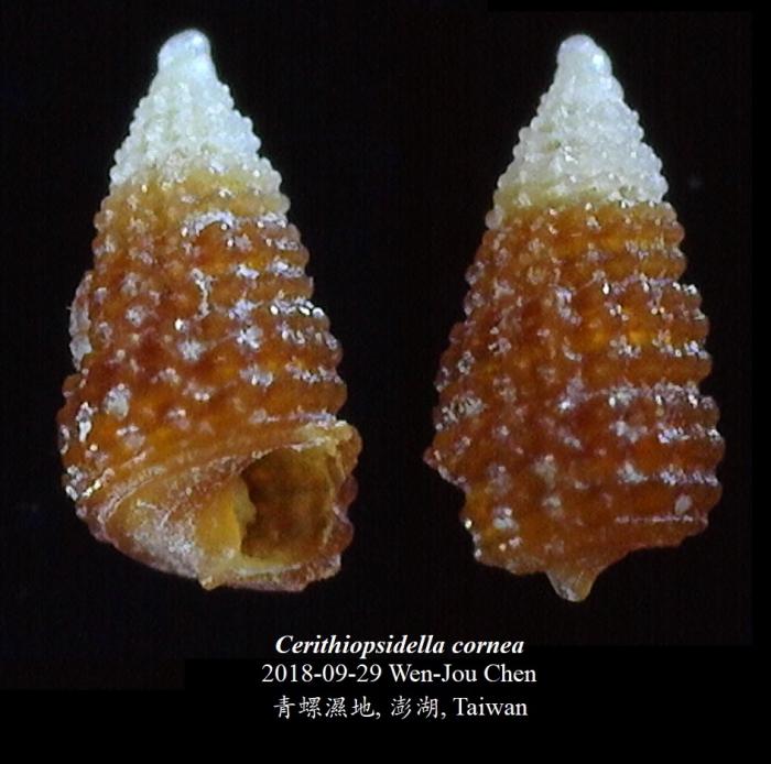 Cerithiopsidella cornea