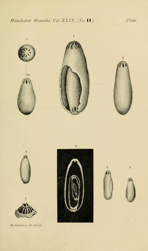 Nevillina coronata (Millett, 1898)