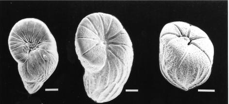 Floresina amphiphaga Hallock & Talge, 1994