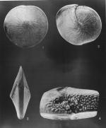 Amphistegina radiata (Fichtel & Moll, 1798)
