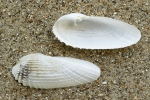 Witte boormossel - Barnea candida