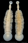 Branchellion spindolaorum
