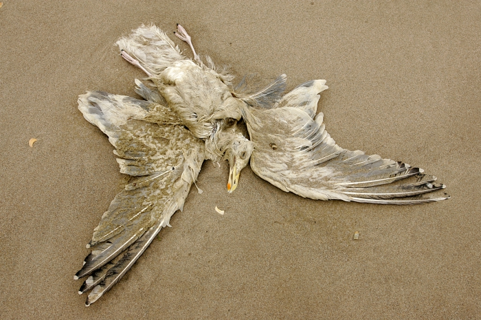 Cadaver European herring gull