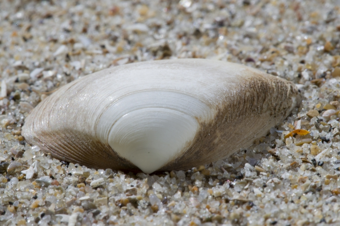 Shell subtruncate surf clam
