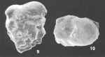 Textularia crenata T. C. Cheng and Zheng identified specimen