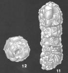 Bigenerina nodosaria d'Orbigny identified specimen