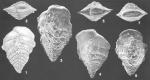 Semivulvulina dermouti (Boomgaart) identified specimens