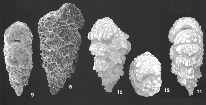 Textularia agglutinans d'Orbigny identified specimens