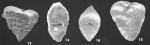 Textularia lateralis Lalicker identified specimens