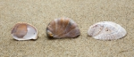 Shells of American slipper limpets