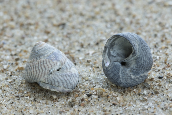 Fosile shell grey topshell