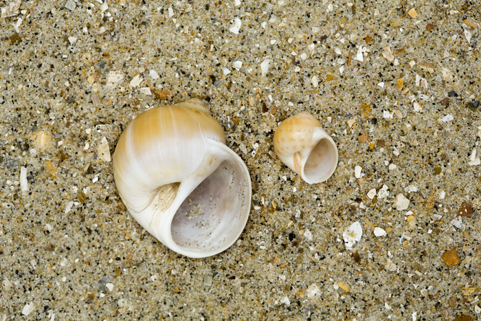 Large necklace shell (left) and common necklace shell (right)
