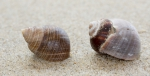 Shells common periwinkle