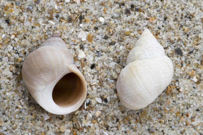 Shells rough periwinkle