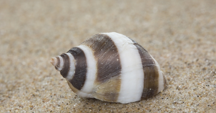 Shell northern dog whelk