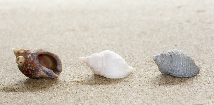 Shells northern dog whelk