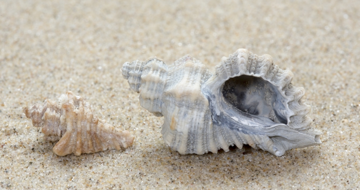 Fossil shells European sting winkle
