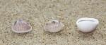Shells European cowrie