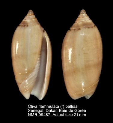 Oliva flammulata var. pallida