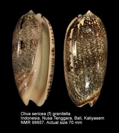 Oliva sericea
