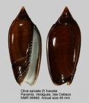 Oliva spicata