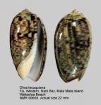Oliva lecoquiana