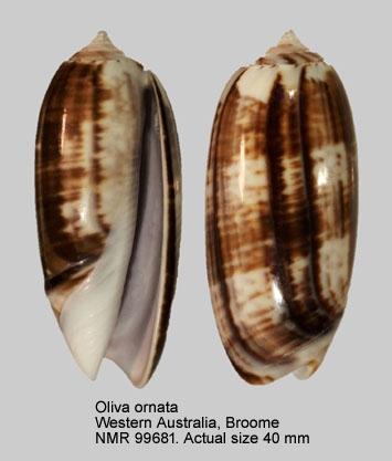 Oliva ornata