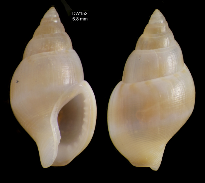 Mitrella templadoiParatype from the type locality in the Strait of Gibraltar, Balgim DR152 (6.8 mm)
