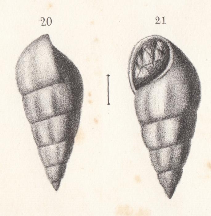 Rissoa mosensis Buvignier, 1852