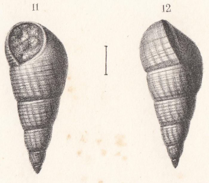 Rissoa subclathrata Buvignier, 1852
