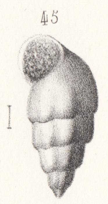 Rissoa moreana Buvignier, 1852
