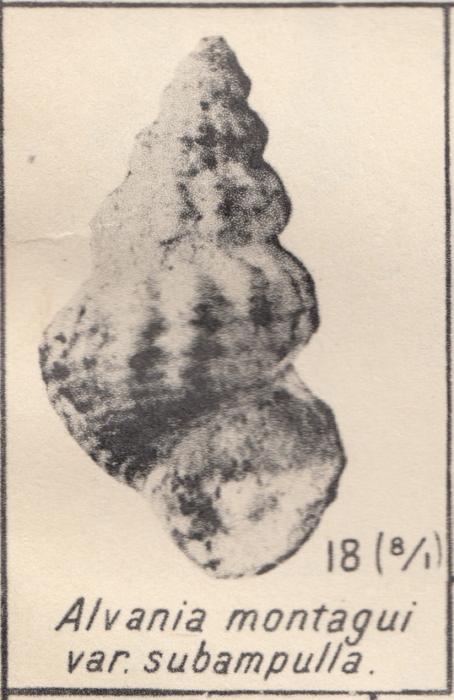Alvania subampulla Zhizhchenko, 1936