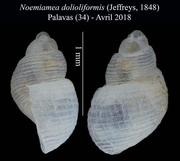 Noemiamea dolioliformis