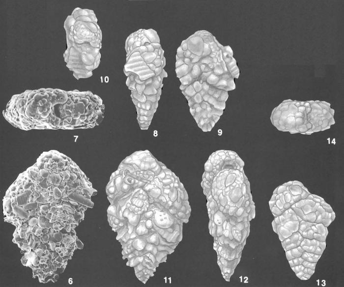 Textularia foliacea Heron-Allen & Earland Identified Specimens