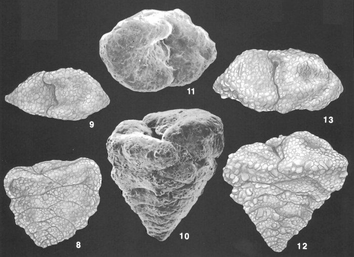 Textularia truncata Höglund Identified Specimens