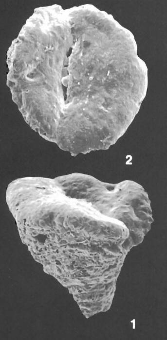 Textularia orbica Lalicker & McCulloch Identified Specimen