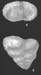 Textularia semialata Cushman Identified Specimen
